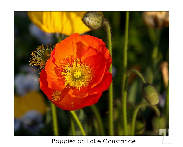 Poppies for my birthday.