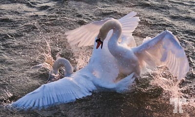 Battle of the swans