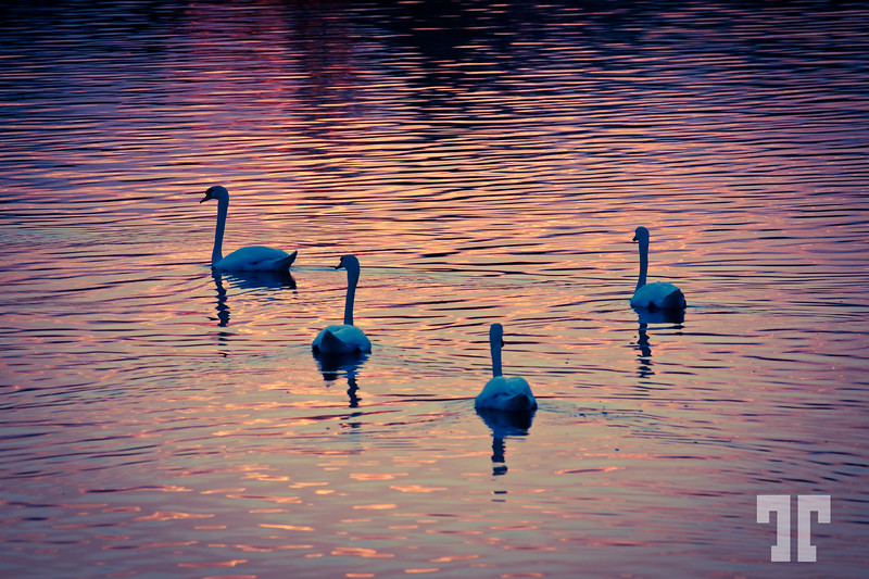 Swans on Rhine River at sunset