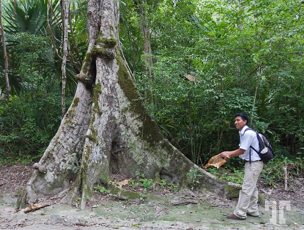 Giant tree in the jungle of Tikal, Guatemala