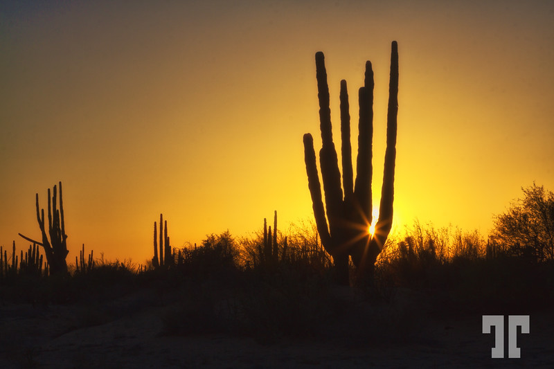 Organ pipe cactus in the sunset light - Baja California, Mexico