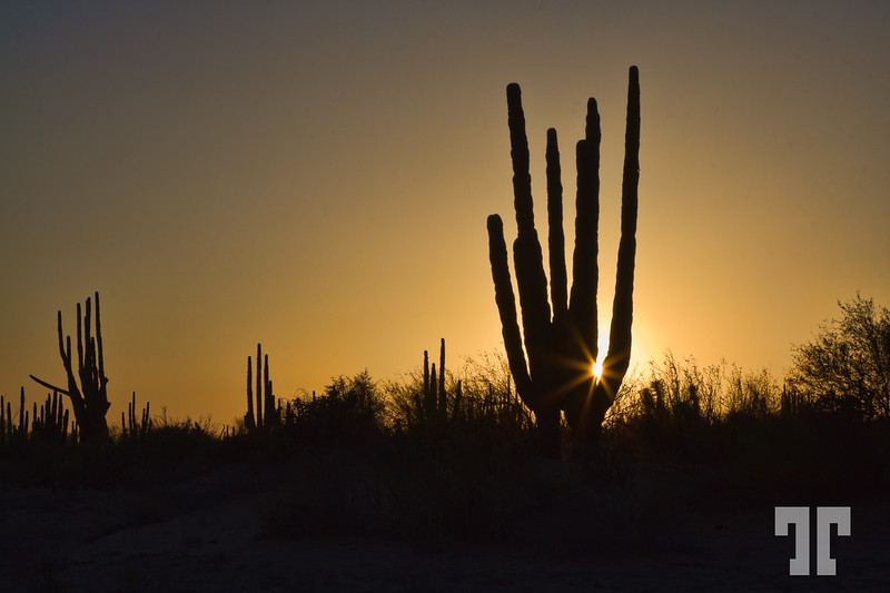Organ cactus in the sunset light - Baja California, Mexico