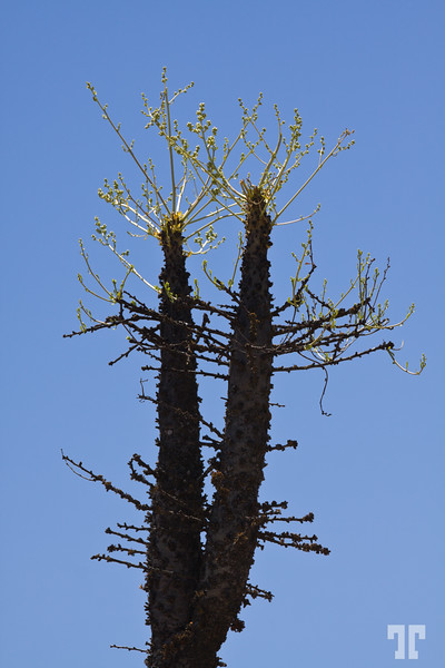 Boojum tree in Baja California