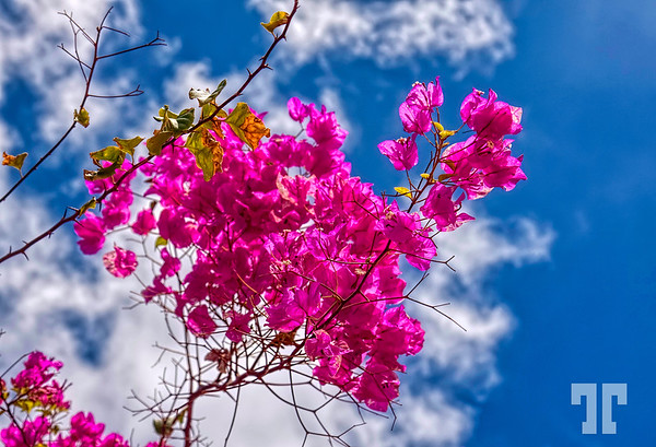 "Pink Bougainvillea  * I forgot about the pink  day, today so I uploaded 2 photos - one here and one for ""P"" in the randoms :)"