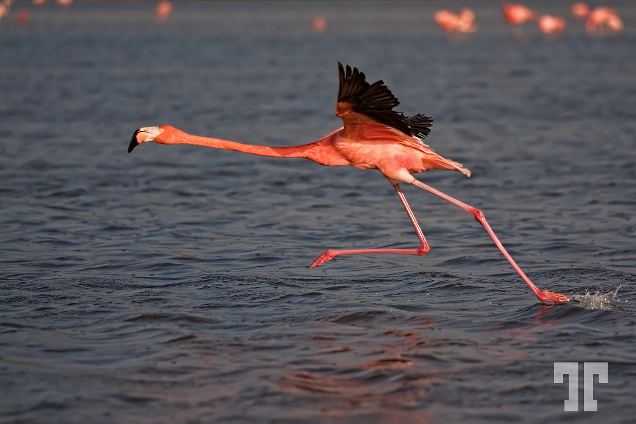 Flamingo in the Gulf of Mexico starting the lift-of...