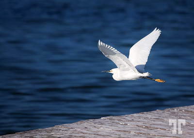 Taking off  Egret, at the Biosphere reserve, San Felipe village, gulf of Mexico Mexico, Yucatan Wild life, Canada  (ZZ)