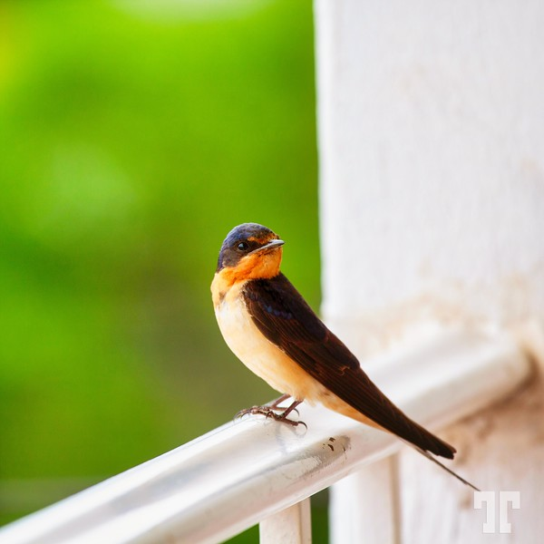 swallow-st Theresa-mexico-16b_Original_1