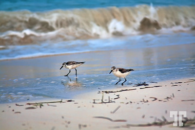 Sand pippers on the beach