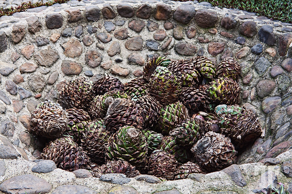 agave-Jose-Cuervo-tequila-factory-museum