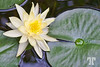 Water Lilly (zz)