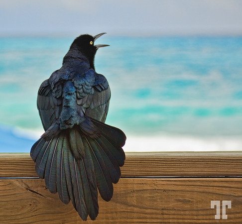 Mexican crow