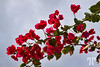 Bougainvillea  - January