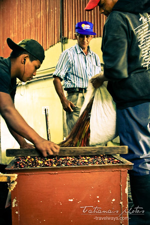sorting-coffee-beans