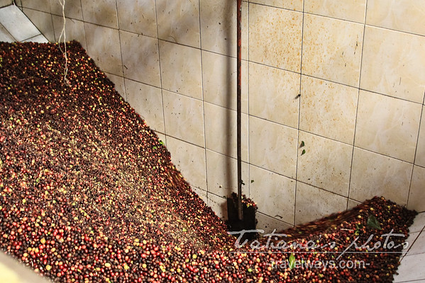 coffee-production-finca-kotowa-boquete-panama-5