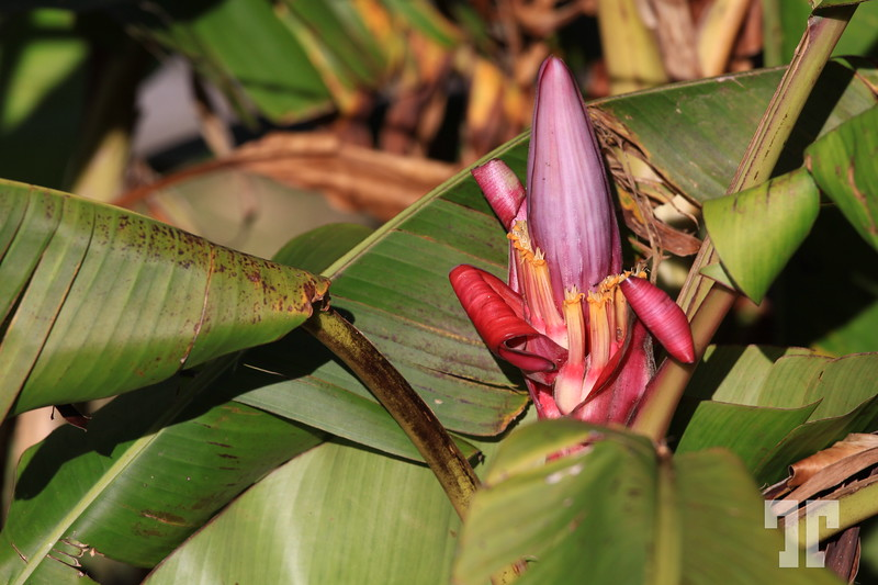 Color contrast Pink banana flower