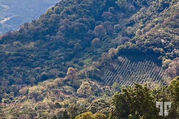 coffee-plantation-boquete