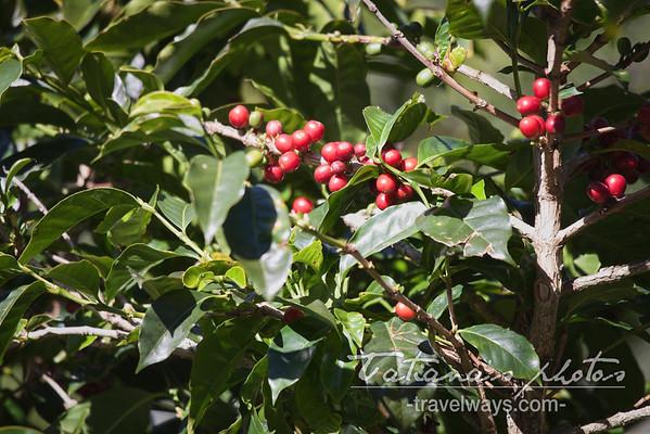 Coffee plant, Boquete, Panama