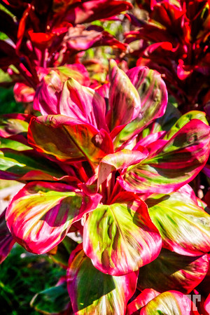tropical-red-green-plant-panama