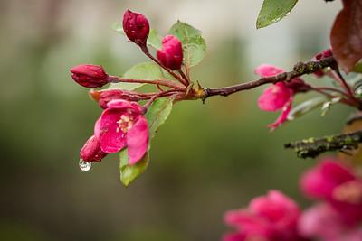 Apple Blossom Rain Drop