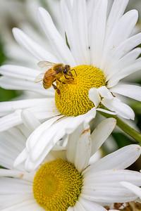 Bee harvest daisies
