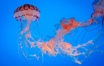 Compass Jellyfish, National Aquarium