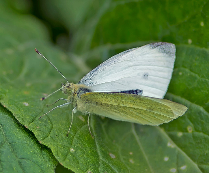 Pieris rapae, Small White