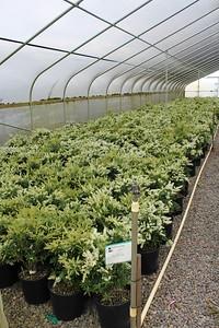 Pieris japonica 'Prelude' #3 (3)