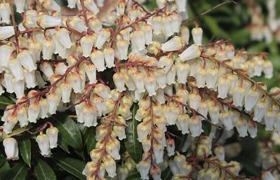 Pieris japonica 'Mountain Fire' Flowers