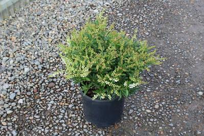 Pieris japonica 'Prelude' #3 (2)