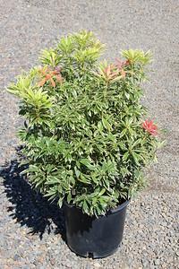 Pieris japonica 'Flaming Silver' #5 (3)