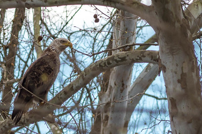 Eagles, Gulls & Herons-4