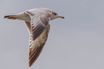 Eagles, Gulls & Herons-12