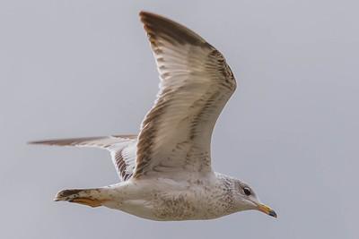 Eagles, Gulls & Herons-14