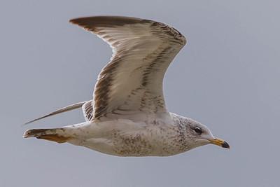 Eagles, Gulls & Herons-13