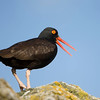 North America, USA,Alaska, Black Oystercatcher, vocalizing.<br /> North America, USA,Alaska, Black Oystercatcher, vocalizing.
