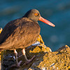 USA, San Juan Islands, Strawbery Island, Washington. Year-round resident Black Oystercatcher on seaside rocks in evening light.