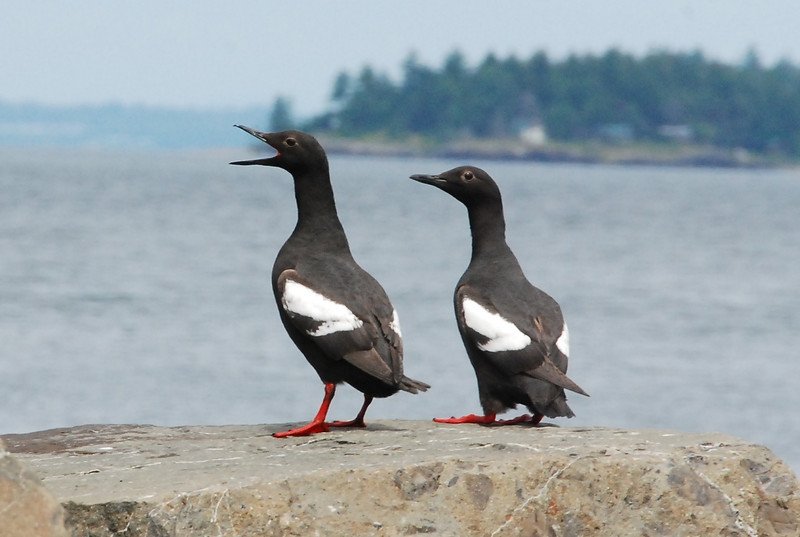 Vendovi mascots and welcoming committee, pigeon guillemots. Photo credit Gene Helfman.