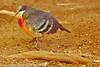 A Bleeding Heart Dove taken Feb. 25, 2012 in Tucson, AZ.