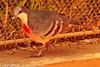 A Bleeding Heart Dove taken Feb. 21, 2012 in Tucson, AZ.