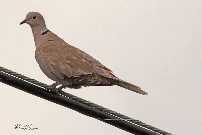 A Eurasian Collared Dove taken July 24, 2010 near Portales, NM.