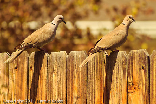 Eurasian Collared Doves taken Aug. 29, 2011 in Fruita, CO.