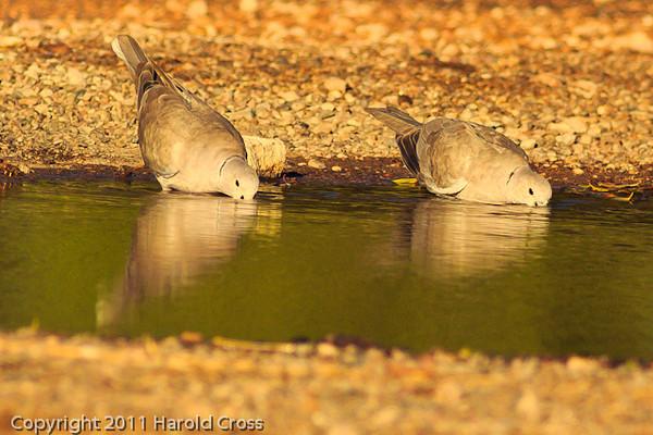 Eurasian Collared Doves taken Oct. 29, 2011 near Portales, NM.