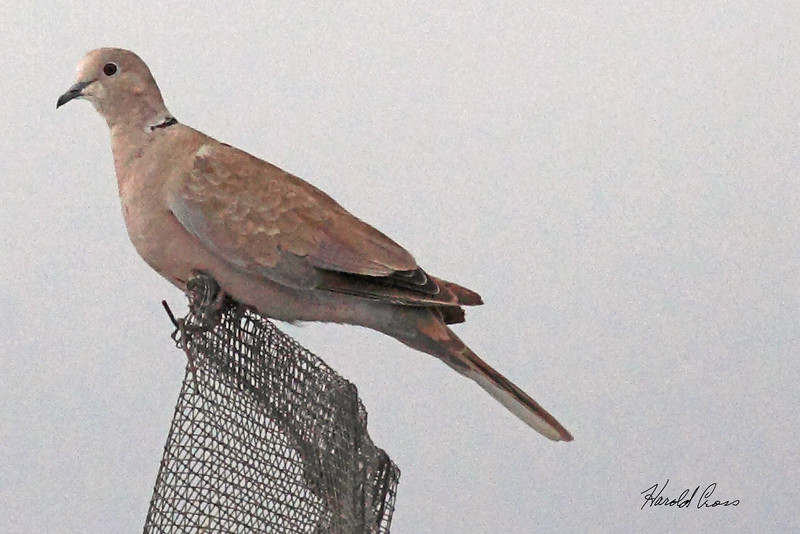 A Eurasian Collared Dove taken July 22, 2010 near Arch, NM.