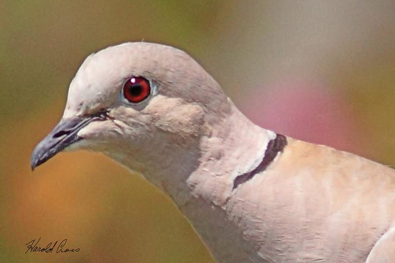 A Eurasian Collared Dove taken Aug 15, 2010 in Fruita, CO.