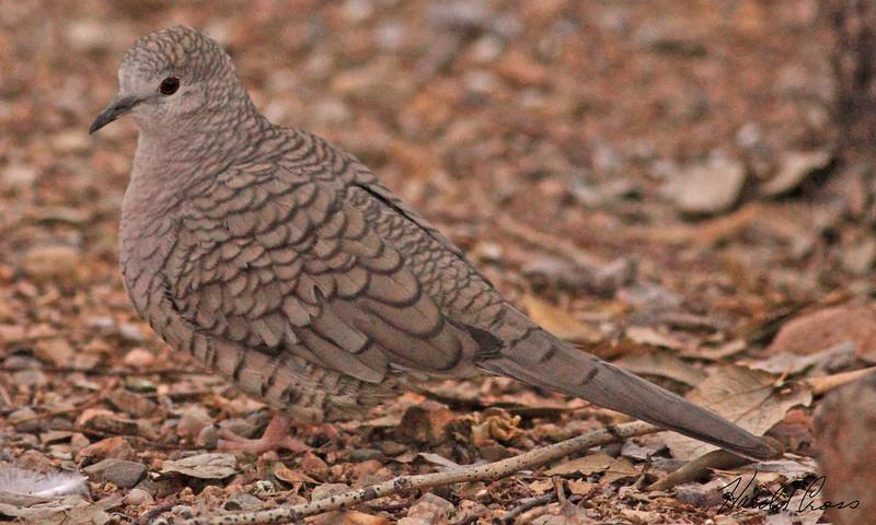 An Inca Dove take Feb 15, 2010 in Tuscon, AZ.