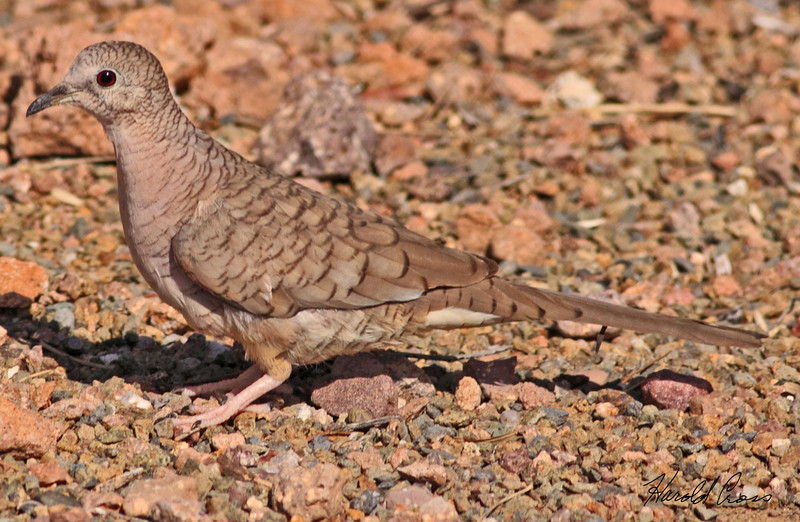 An Inca Dove take Feb 3, 2010 in Apache Junction, AZ.