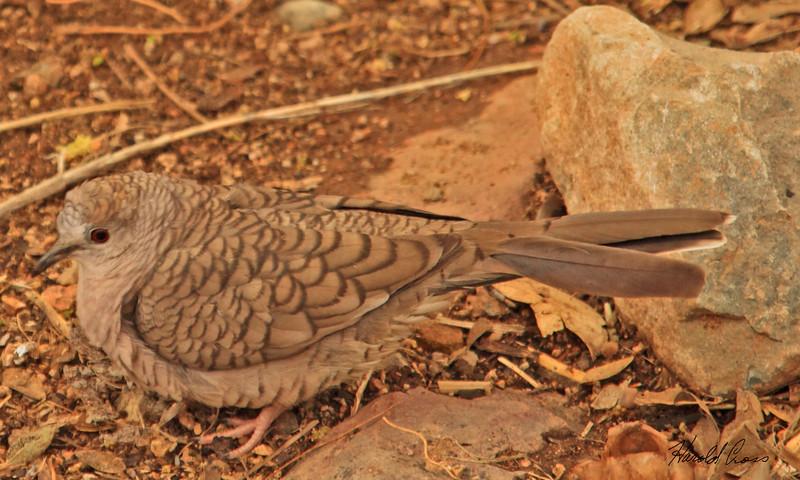 An Inca Dove take Feb 7, 2010 in Tuscon, AZ.