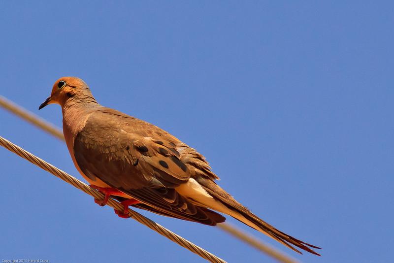 A Mourning Dove taken July 4, 2011 near Portales, NM.