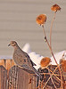 A Mourning Dove taken Dec 9, 2010 in Fruita, CO.