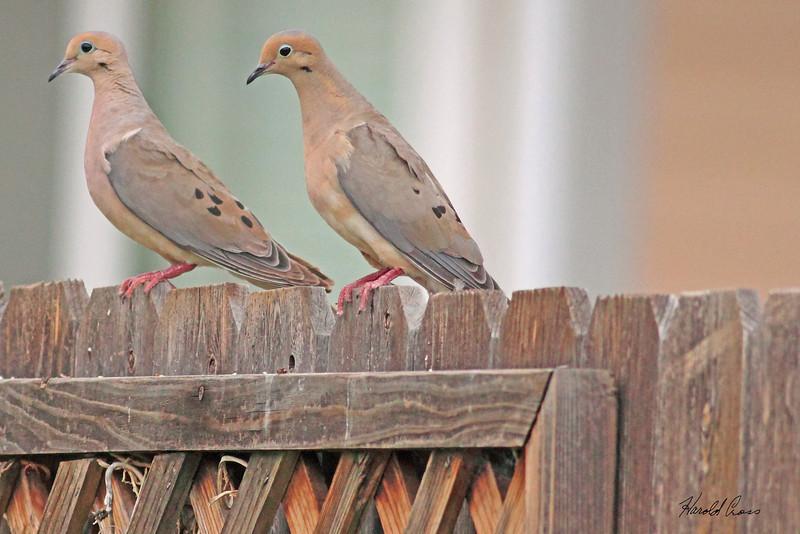 Mourning Doves taken Aug 17, 2010 in Fruita, CO.